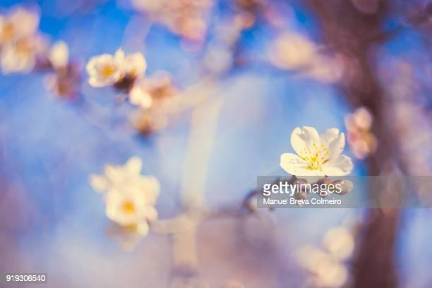 Almond tree flowers in bloom