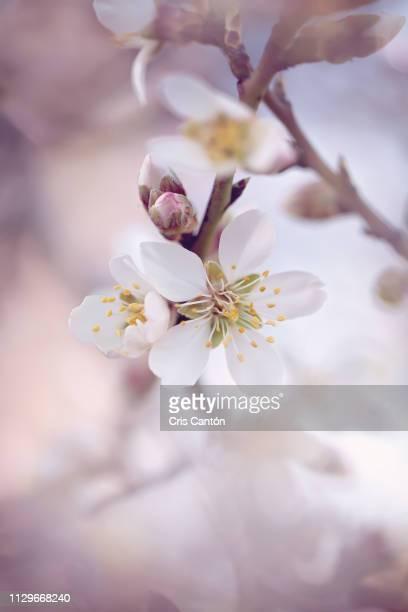 almond tree flowers - cris cantón photography fotografías e imágenes de stock