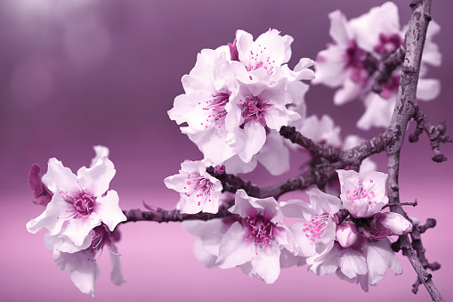 Almond Tree Flowers Pink Purple Ultra Violet Blossom Branch Spring Background Macro Photography 1132878440
