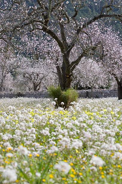Almond Tree In Blossom, Near Randa. Wall Art
