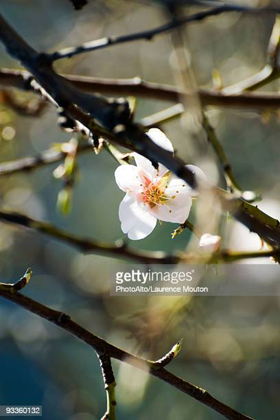 Almond tree in flower, close-up of branches
