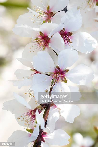 Almond tree in flower, close-up of flowering branch