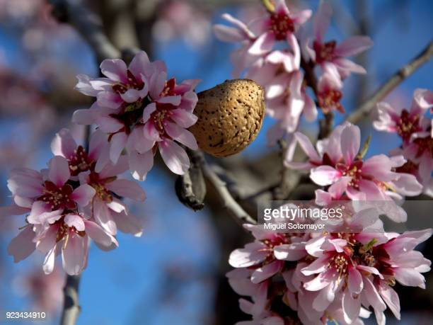 Almond tree in flowering