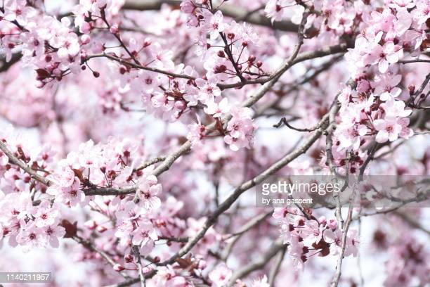 almond tree in full blossom in spring - almendro fotografías e imágenes de stock