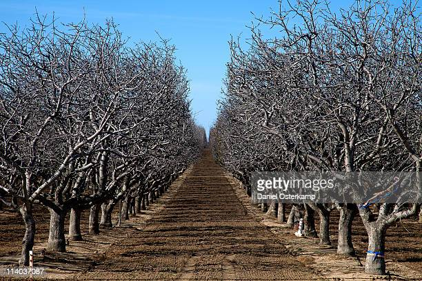 Almond tree plantation alley horizontal
