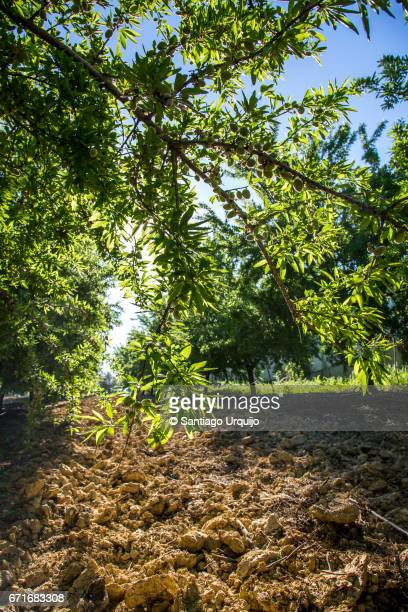 Almond tree plantation