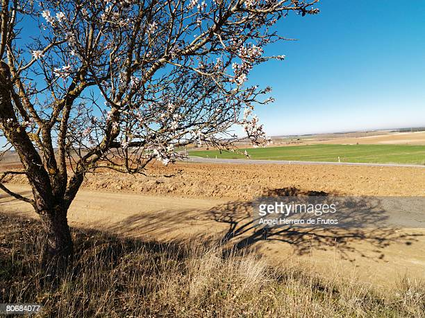 almond tree with flowers in segovia, spain, 2008. focus on foreground. - earth angel stock pictures, royalty-free photos & images