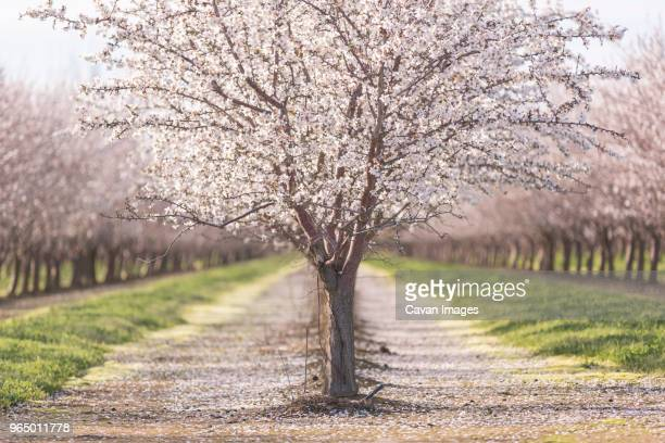 almond trees at farm - almond stock pictures, royalty-free photos & images