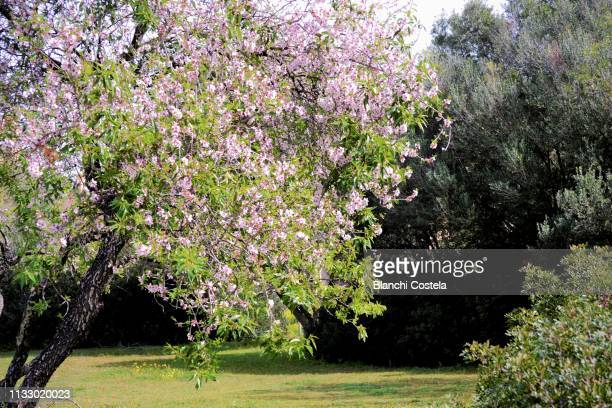 Almond trees blossom in the field