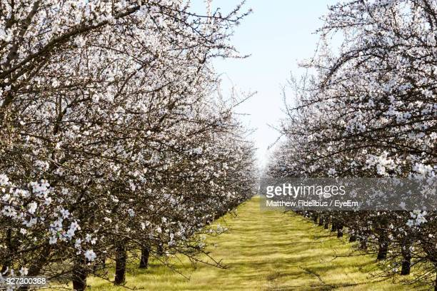 almond trees growing at farm - central california stock pictures, royalty-free photos & images