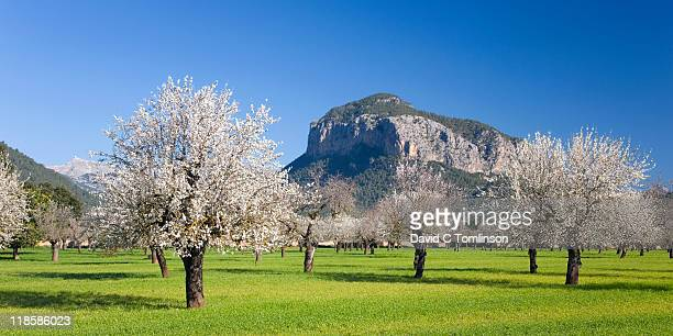 Almond trees in bloom, Alaro, Mallorca