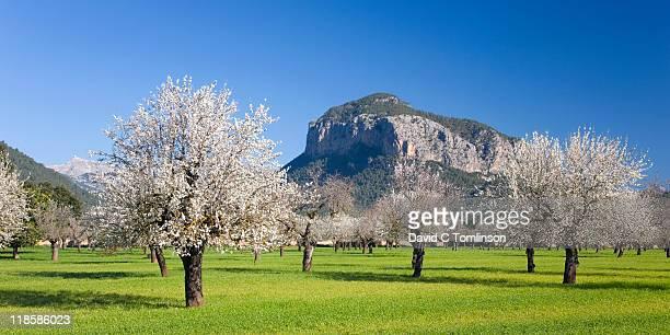 Almond trees in bloom, Alaro, Mallorca