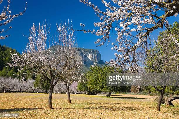 Almond trees (Prunus dulcis) in bloom beneath Puig de s'Alcadena in background.