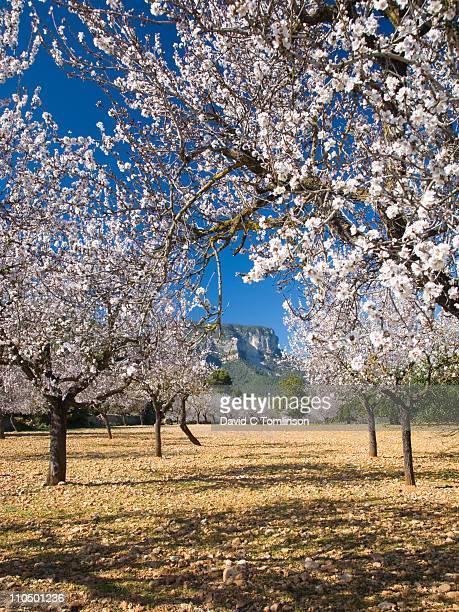 Almond trees in bloom, Lloseta, Mallorca