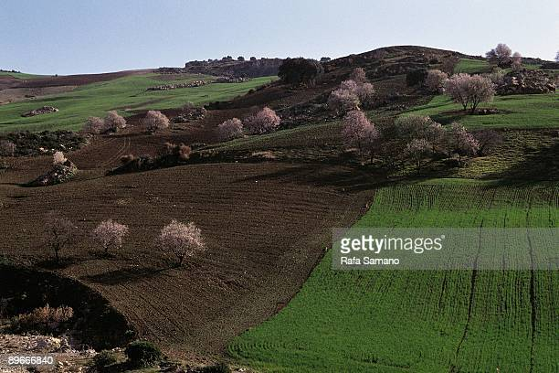 Almond trees in bloom View of almond trees in bloom growing in crop fileds
