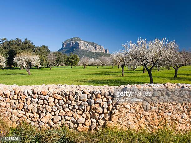 Almond trees in field, Alaro, Mallorca, Spain