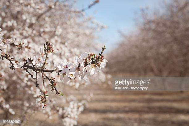 Almond trees in orchard  blossoms in foreground