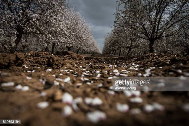 Almond trees plantation in blossom