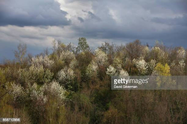 Almond trees wear white as they come into blossom at the start of spring on March 26 2017 on the outskirts of Modena a city famous worldwide for its...