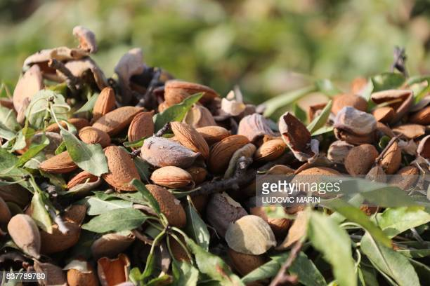 Almonds are collected during the annual harvest at Villa Casale Modica di San Giovanni on August 11 in Rosolini on the south Italian island of Sicily