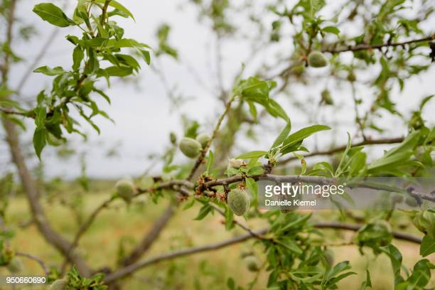 Almonds growing on tree
