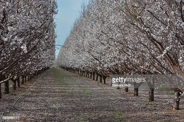 Almonds in bloom showing shear method pruning