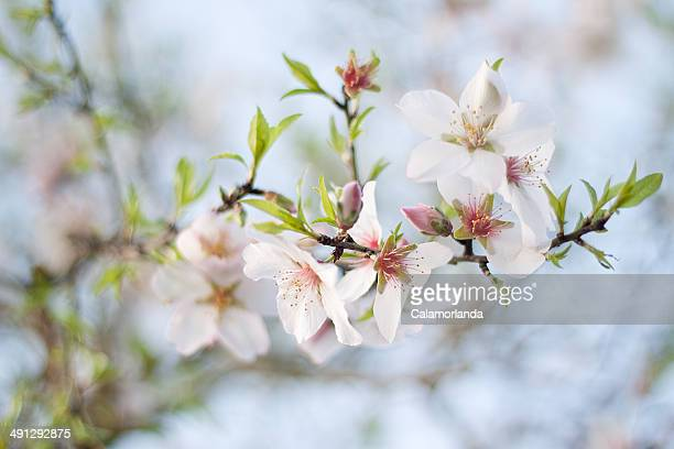 Almonds in the spring