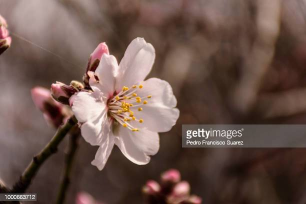 almond's tree flower - suarez stock pictures, royalty-free photos & images