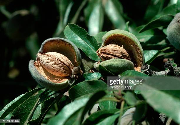 Almonds With Open Hull on Tree