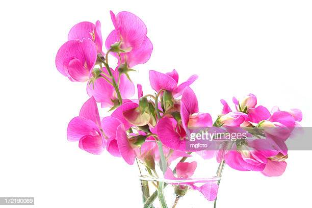 Almost like painted lathyrus flowers