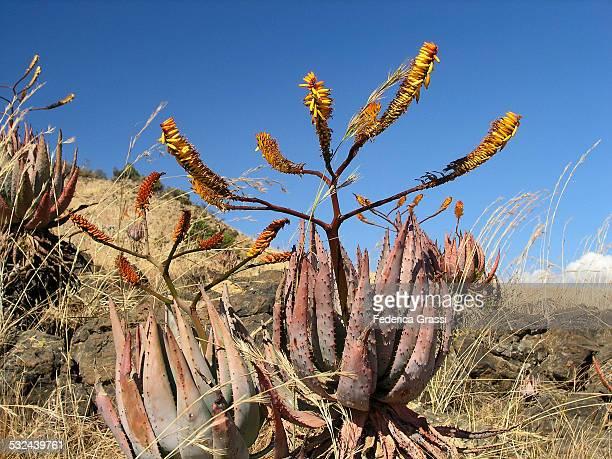 Aloe Africana in full bloom