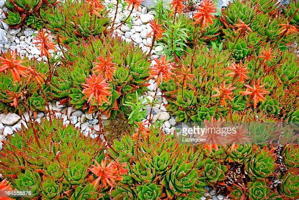 Aloe Aristata Cactus in Bloom