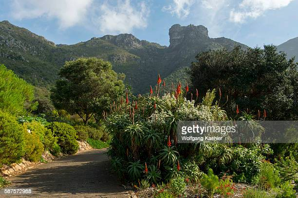 Aloe flowering at Kirstenbosch National Botanical Gardens in Cape Town South Africa with Table Mountain in background