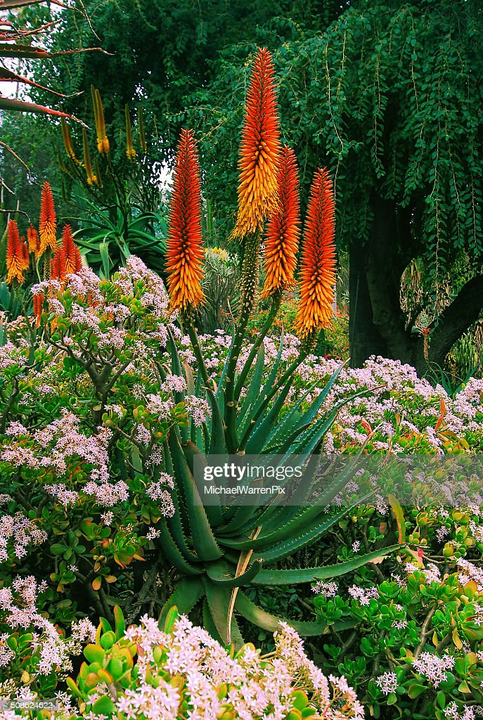 Aloe Flowers : Stock Photo