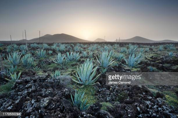 aloe growing wild in lava plain with volcanoes in the distance at sunrise. - volcanic terrain stock pictures, royalty-free photos & images