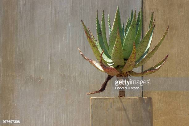 aloe - apartheid museum stock pictures, royalty-free photos & images
