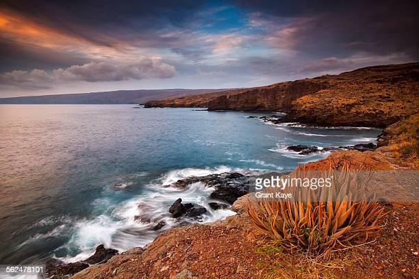 aloe plant (aloe succotrina), kaumalapau harbor coast, lana`i, hawai`i - lanai stock photos and pictures