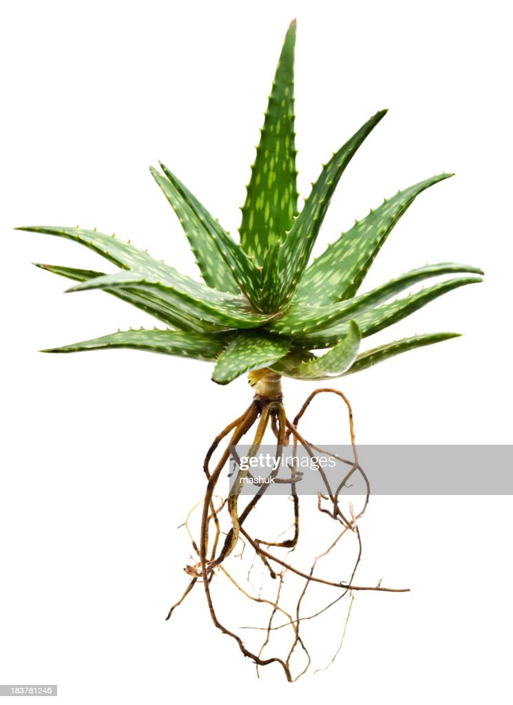 Aloe plant : Stock Photo