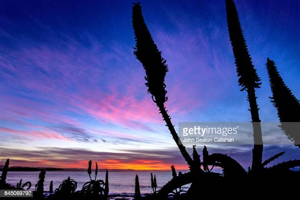 Aloe Plants at Jeffrey's Bay