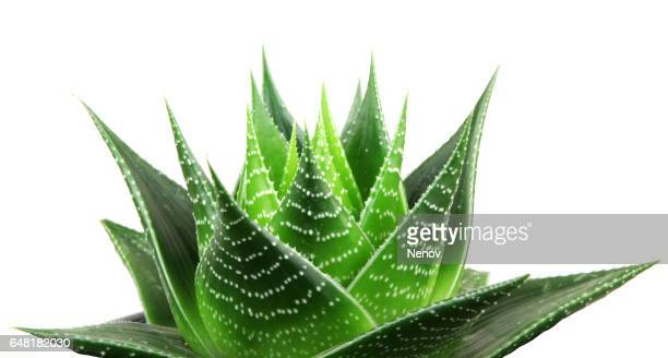 aloe vera isolated on white background - succulent stock photos and pictures