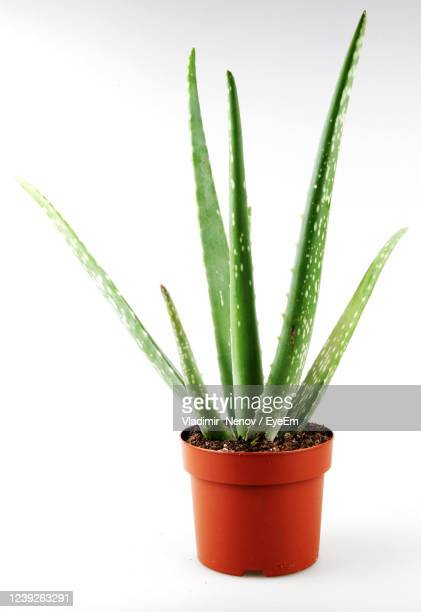 aloe vera on white background - pot plant stock pictures, royalty-free photos & images