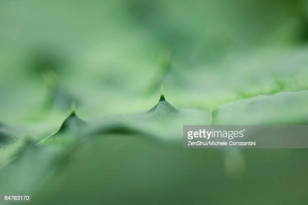 aloe vera (aloe barbadensis) plant, extreme close-up  - aloe vera plant photos et images de collection