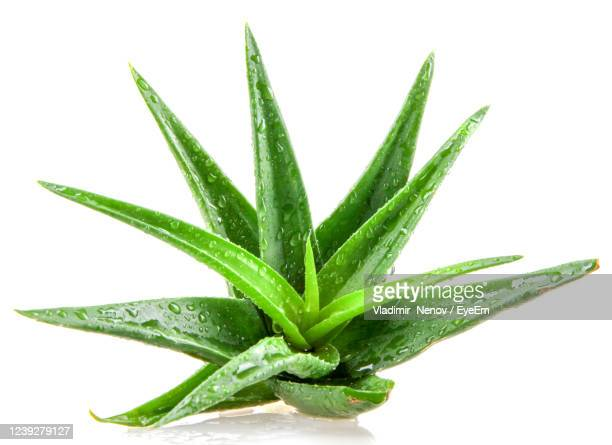 aloe vera plant isolated on white background. - aloe vera plant stock pictures, royalty-free photos & images