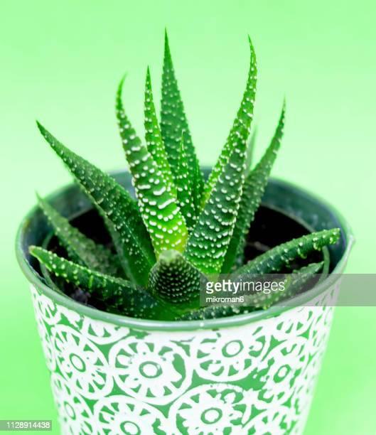 aloe vera plant - aloe vera plant photos et images de collection