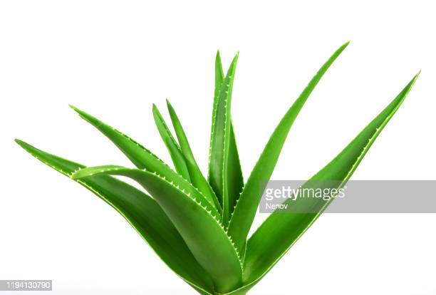 aloe vera plant - aloe vera plant stock pictures, royalty-free photos & images