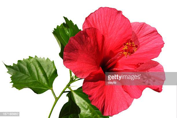 aloha hibiscus - hibiscus stock pictures, royalty-free photos & images
