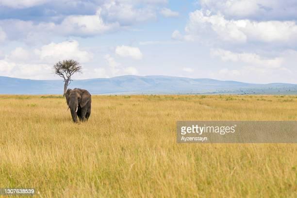 alone african elephant and acacia tree at savannah - erbivoro foto e immagini stock