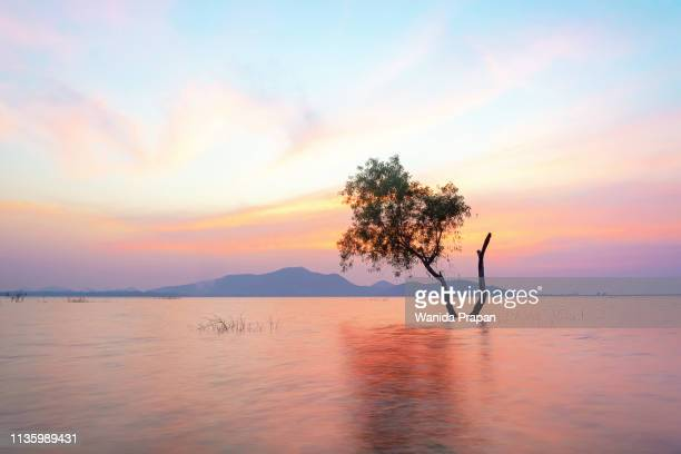 alone alive tree is in the flood water of lake at sunset scenery in reservoirs, overnight - extreme weather stock photos and pictures