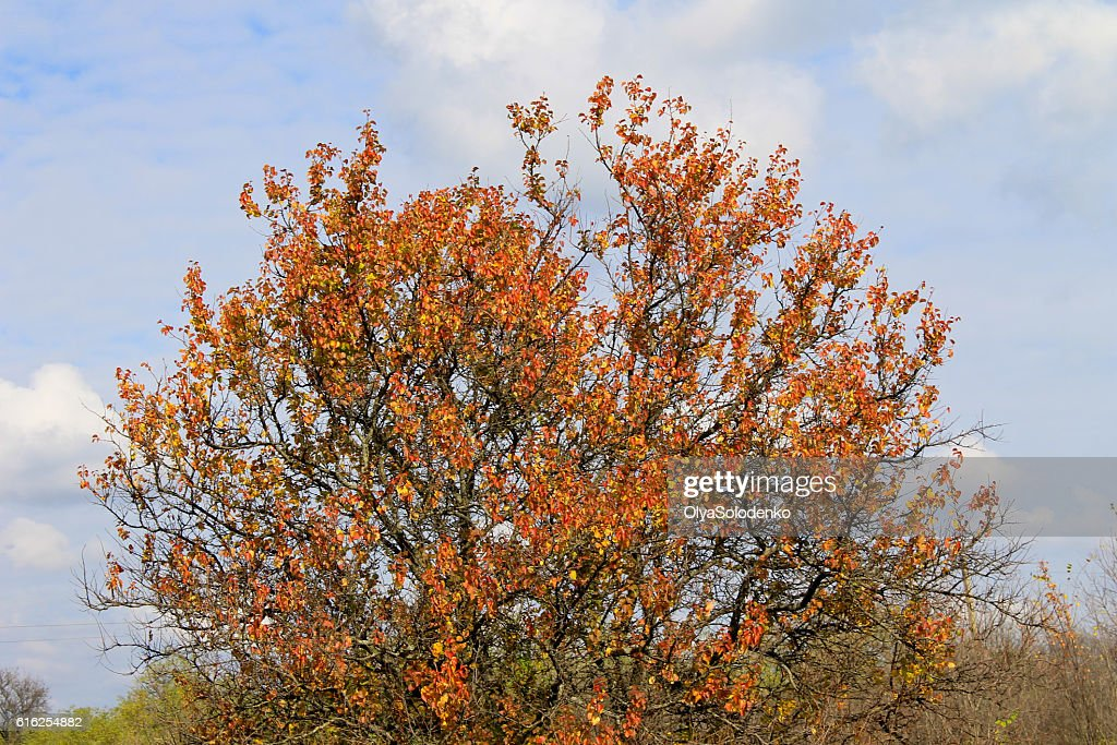Alone apricot tree against blue sky on autumn : Stock Photo