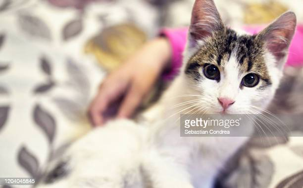 alone cat lying, waiting owner at home, for someone to adopt him, happy to play with random visitor. - pet adoption stock pictures, royalty-free photos & images